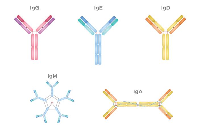 Teste para Coronavírus: Anticorpos IgG permitem identificar infectados